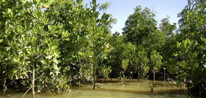 60.000 alberi di mangrovia piantati da BizAway in un anno grazie alle donazioni dei clienti