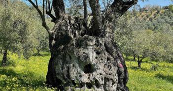 La storia di Giove, ulivo ultracentenario che si trova a Mirto Crosia, sullo Jonio cosentino